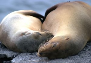 Ahhh, Nap Time for Galapagos Sea Lions