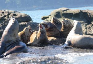 Men's Club (Stellar Sea Lions near Vancouver Island. One of the largest pinnipeds they can weigh more than a ton. Endangered in the U.S.)