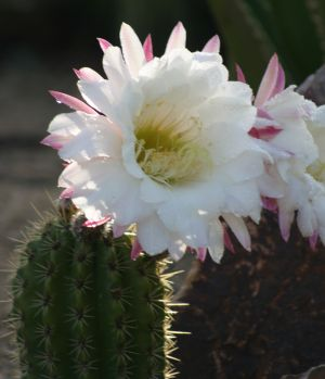 Morning Cactus Flower