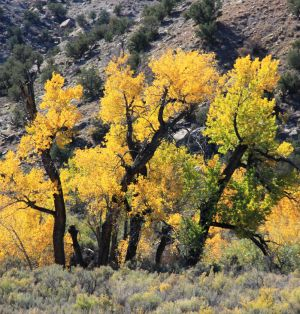 Cottonwood Color